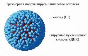 модель вируса папиломы